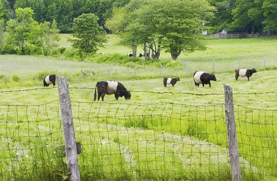Cow Photograph - Belted Galloway Cows On  Farm Rockport Maine Photo by Keith Webber Jr