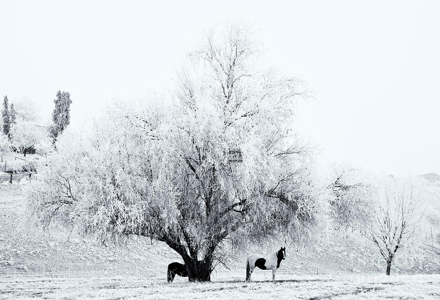 Horses Photograph - Beneath A Frosty Canopy by Mike  Dawson