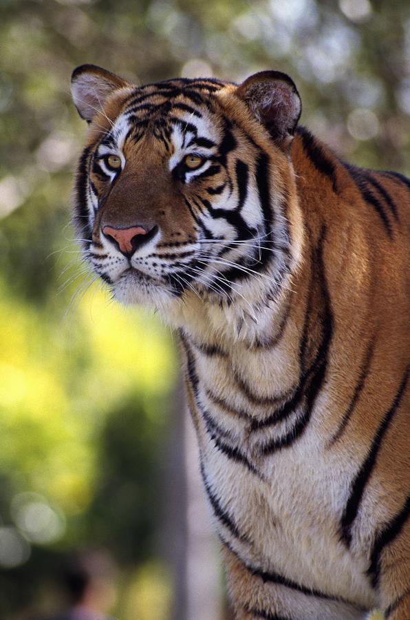 Animal Photograph - Bengal Tiger by Natural Selection Ralph Curtin