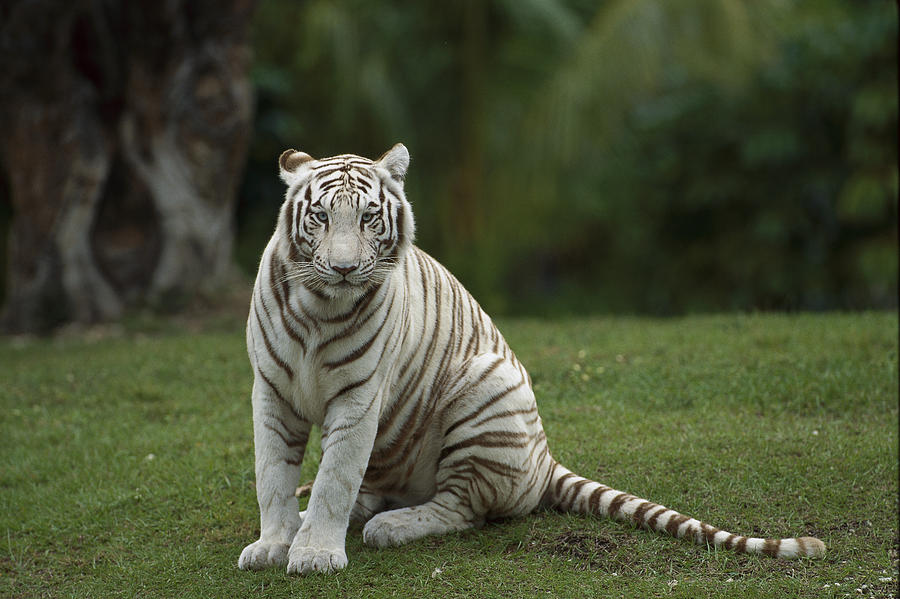 Mp Photograph - Bengal Tiger Panthera Tigris Tigris by Konrad Wothe