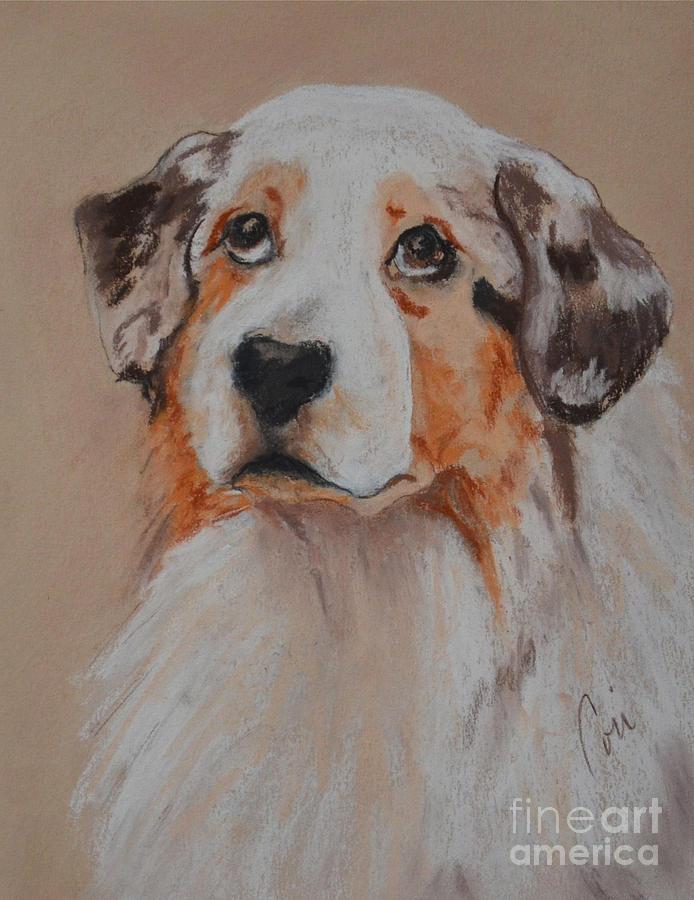 Australian Shepherd Drawing - Bentley by Cori Solomon