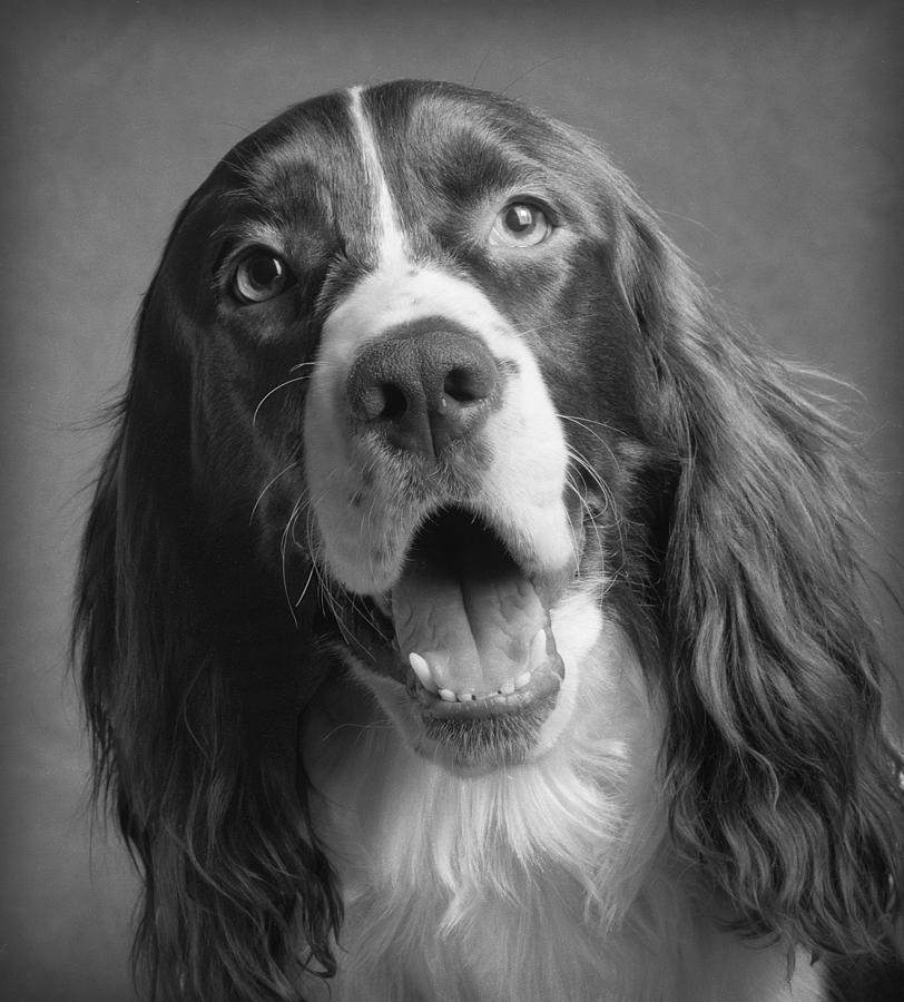 English Springer Spaniel Photograph - Bernie by Ron Schwager