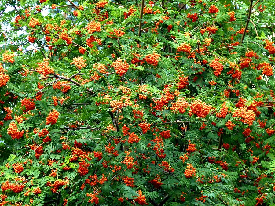 Mountain Ash Photograph - Berries In Profusion by Will Borden