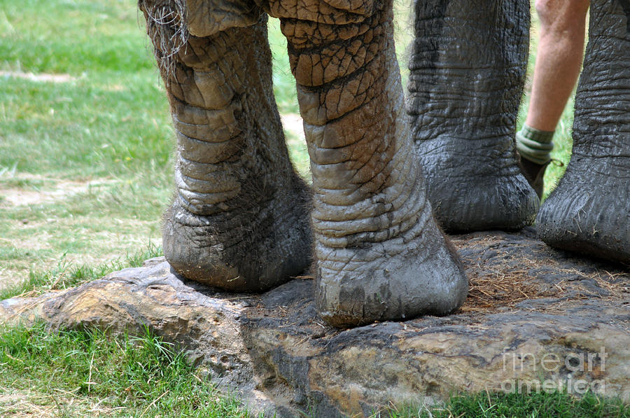 Elephant Photograph - Best Foot Forward by Joanne Kocwin