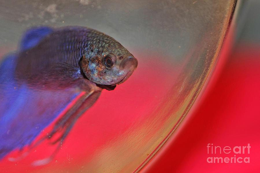 Fish Photograph - Beta by Joann Vitali