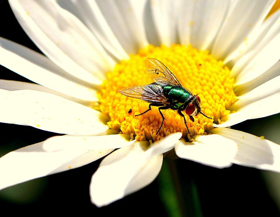 Daisy Photograph - Better Than Watermelon.... by Tanya Tanski