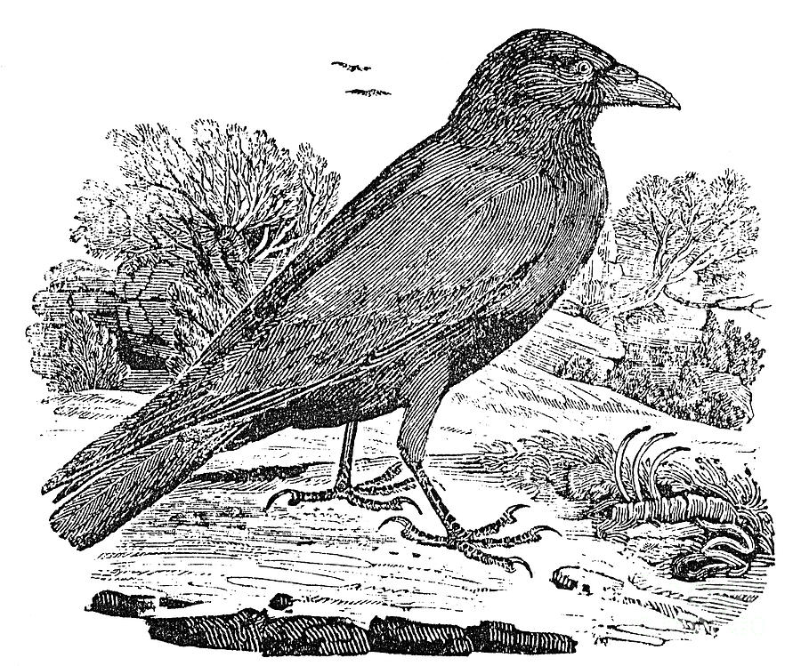 19th Century Photograph - Bewick: Raven by Granger