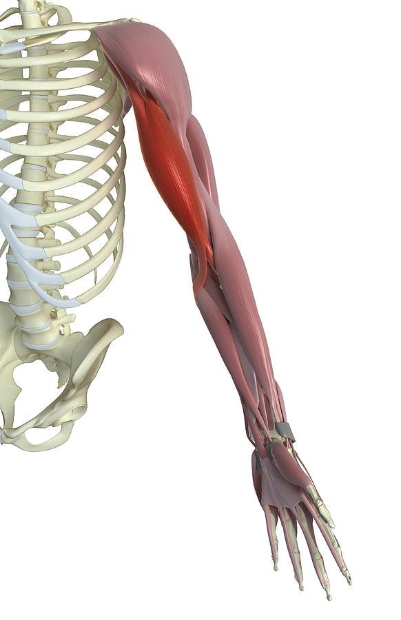 Biceps Brachii Photograph by MedicalRF.com
