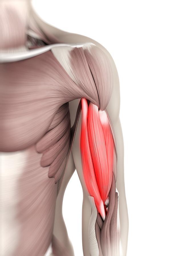 Biceps Muscle, Artwork Digital Art by Sciepro