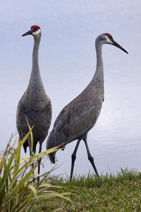 Big Birds Photograph By Sally Weigand