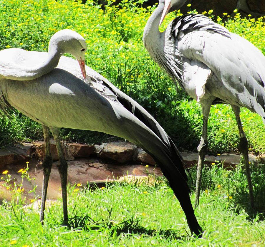 Birds Photograph - Big Birds by Todd Sherlock