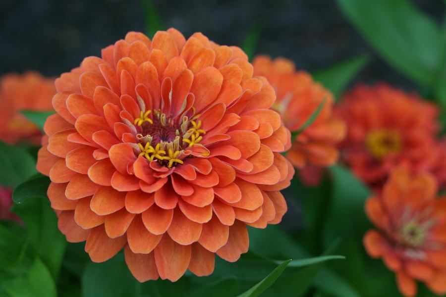 Zinnia Photograph - Big Bold Zinnia Flower by Bonnie Boden