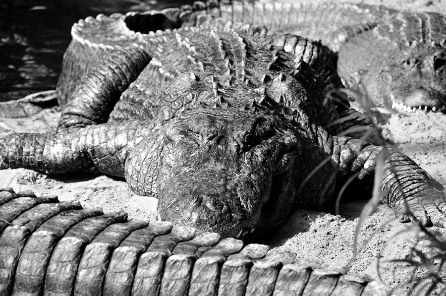 Alligators Photograph - Big Boys by David Lee Thompson