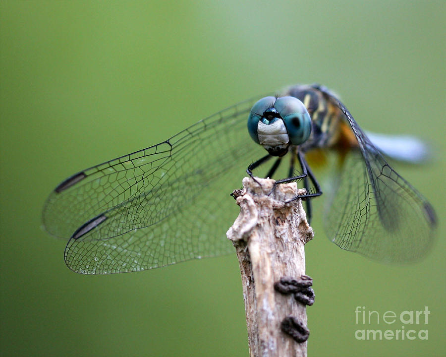 Landscape Photograph - Big Eyes Blue Dragonfly by Sabrina L Ryan