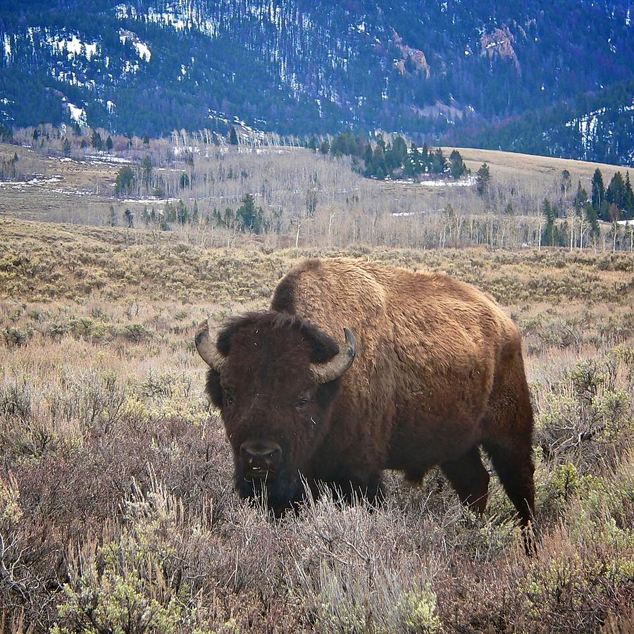 Yellowstone National Park Photograph - Big Old Boy by Eric Tressler