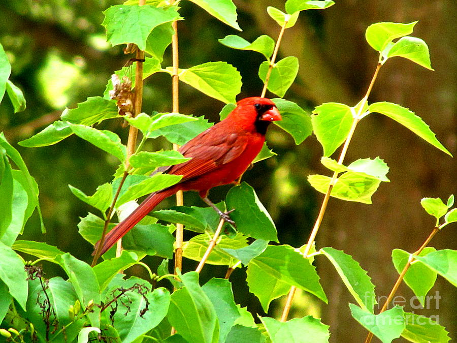 Cardinal Bird Photograph - Big Red by Marilyn Smith
