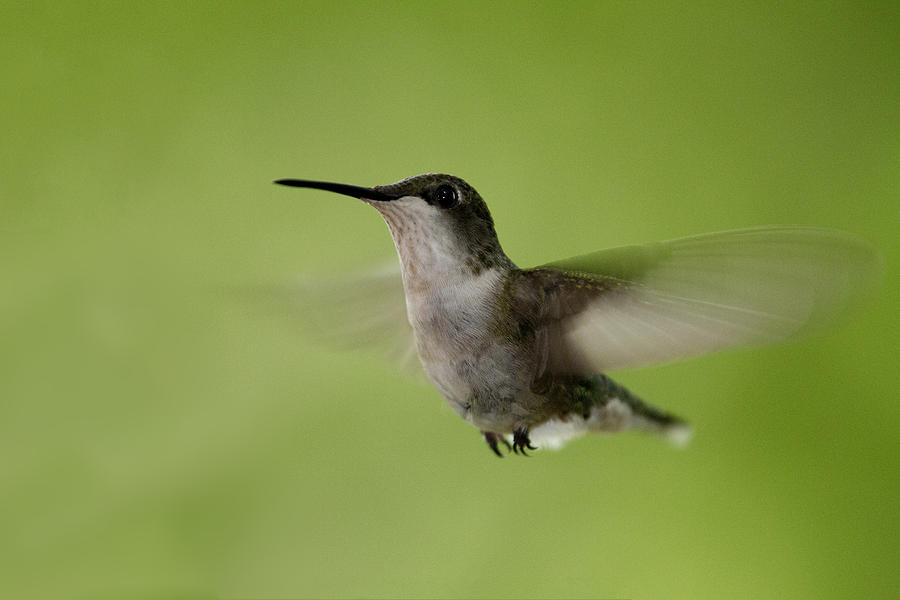 Humming Bird Photograph - Big Star Humming Bird by Dean Bennett