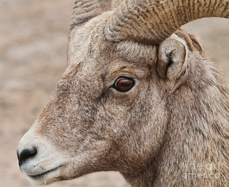 Bighorn Ram Photograph