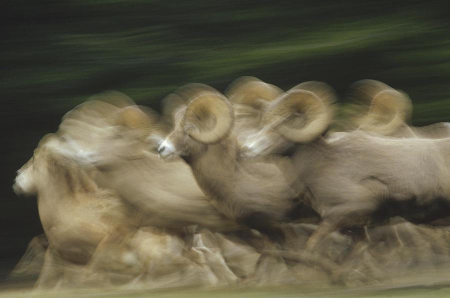 Bighorn Sheep Herd Running Banff Photograph by Tim Fitzharris
