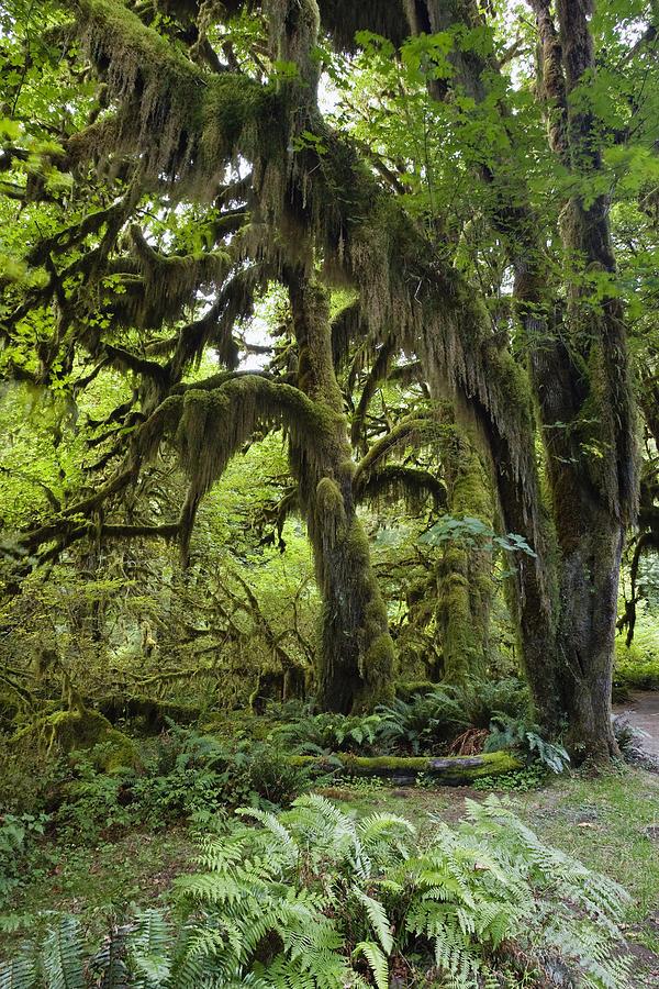 Bigleaf Maple Acer Macrophyllum Photograph By Konrad Wothe