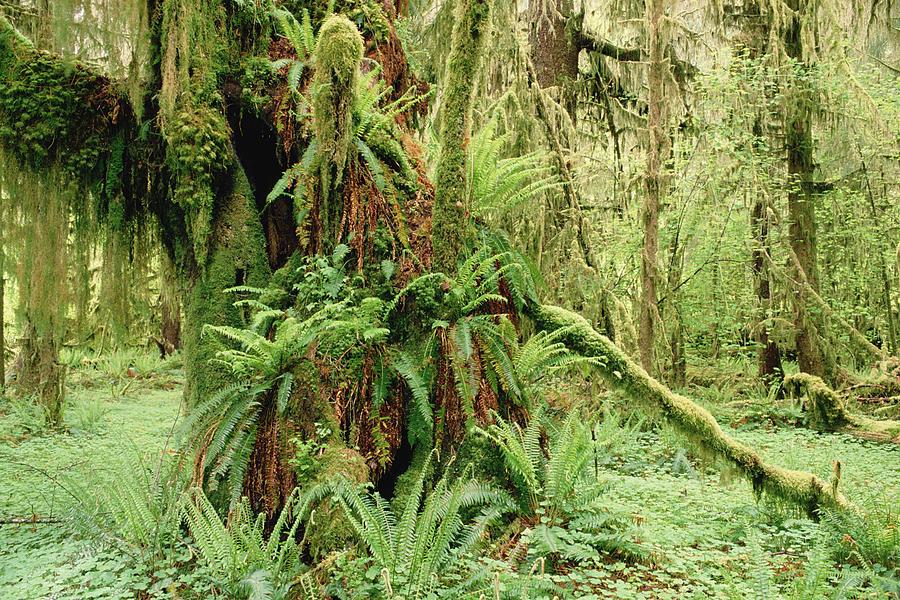 Mp Photograph - Bigleaf Maple Acer Macrophyllum Trees by Gerry Ellis