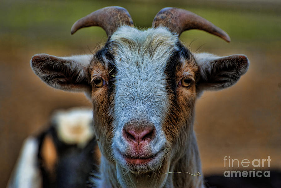 Goat Photograph - Billy Goat by Paul Ward