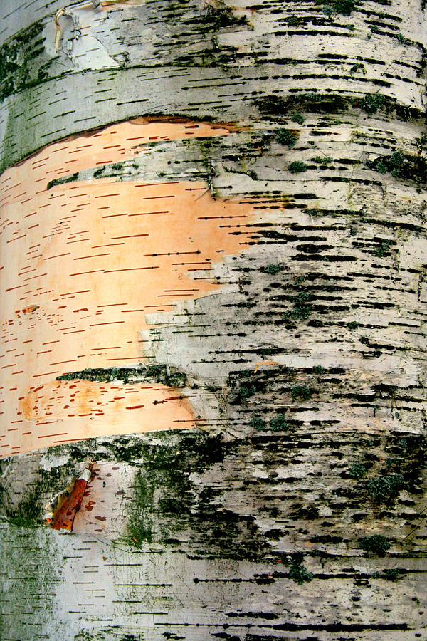 Birch Photograph - Birch Bark by Kathy Peltomaa Lewis
