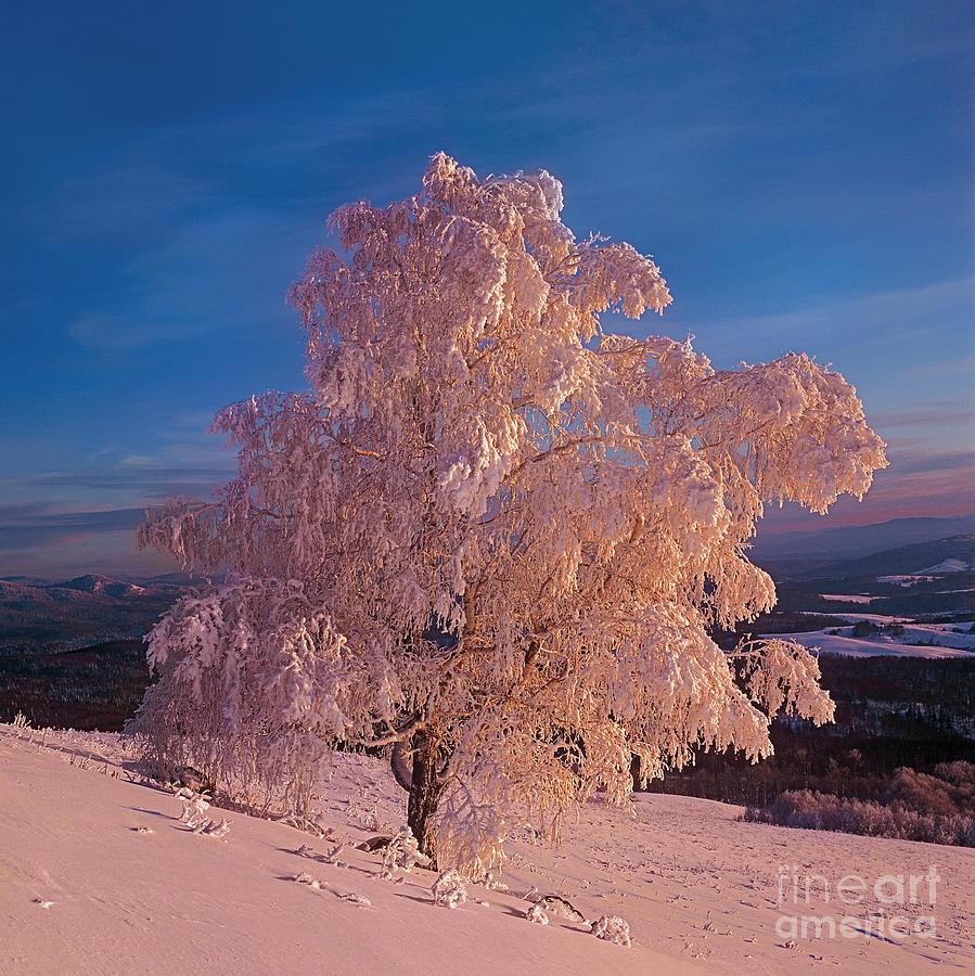 Birch Photograph by Elena Filatova