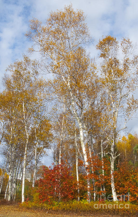 Leaves Photograph - Birch Grove 4269 by Charles  Ridgway