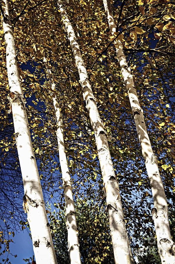 Birch Photograph - Birch Trees In Fall by Elena Elisseeva