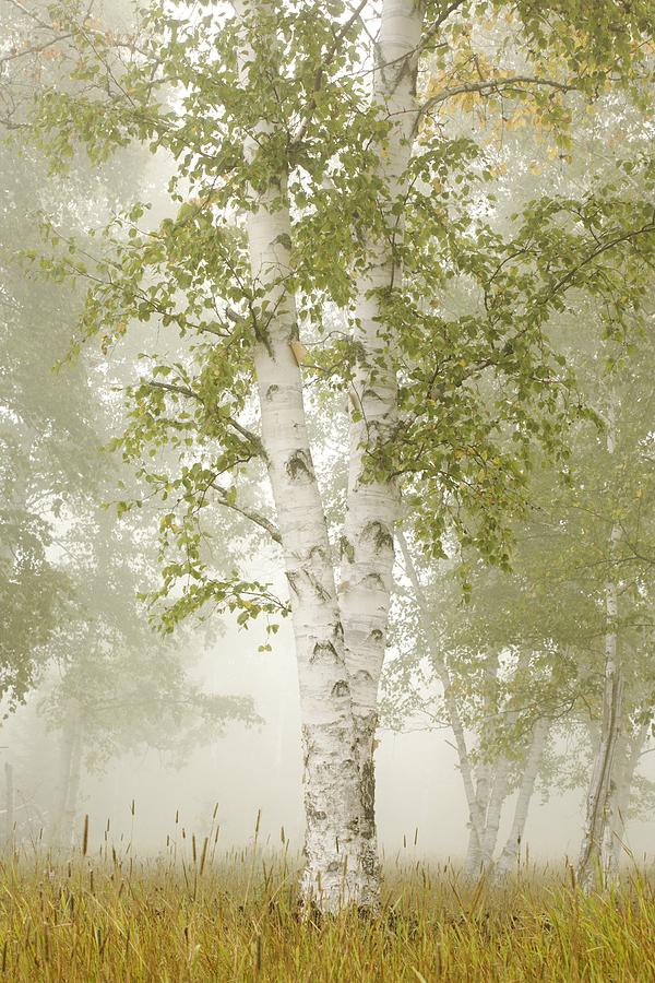 Birch Trees In The Fog Thunder Bay Photograph By Susan Dykstra