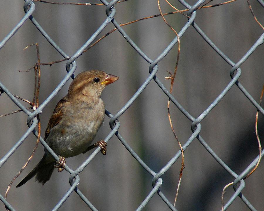 Fence Photograph - Bird In A Wire by Joe Wicks