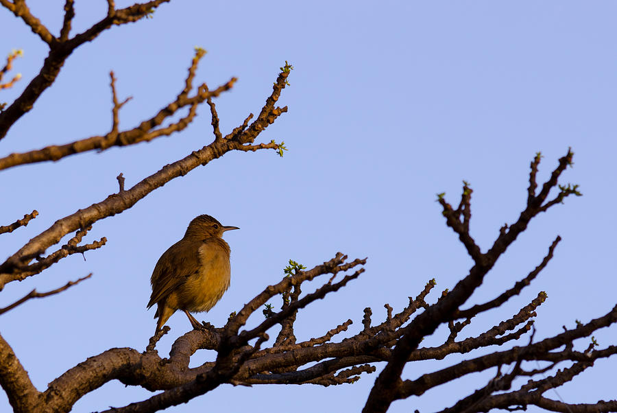 Alone Photograph - Bird In Dry Tree by Joab Souza