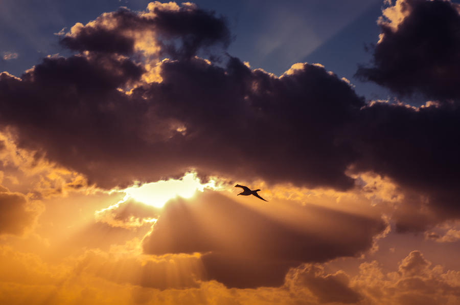 Background Photograph - Bird in sunrise rays by Michael Goyberg