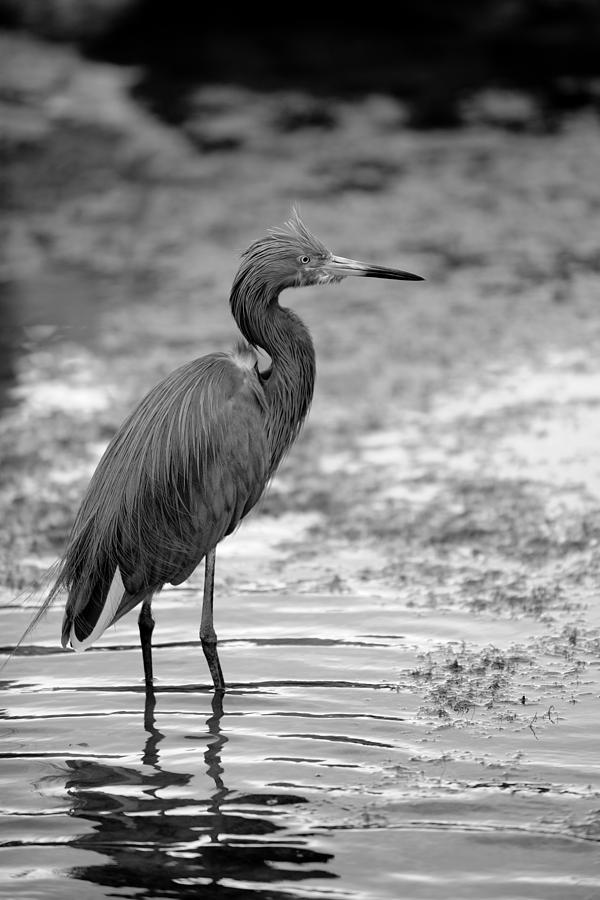 Egret Photograph - Bird In The Shallows by Brandon McNabb