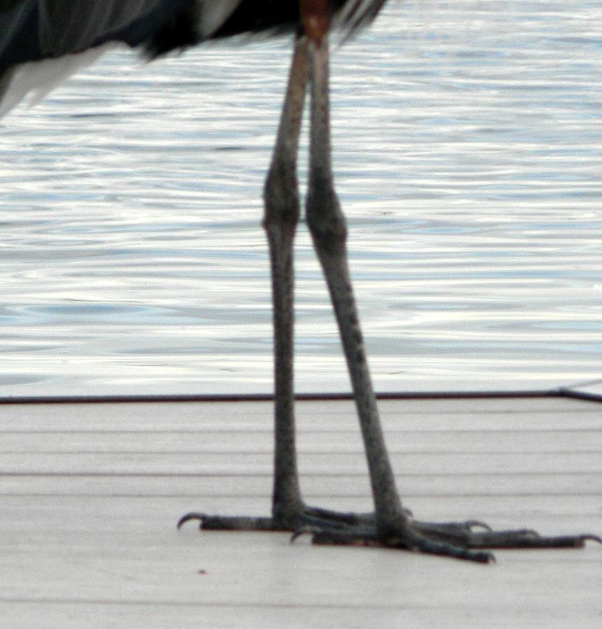 Blue Heron Photograph - Bird Legs by Christy Usilton