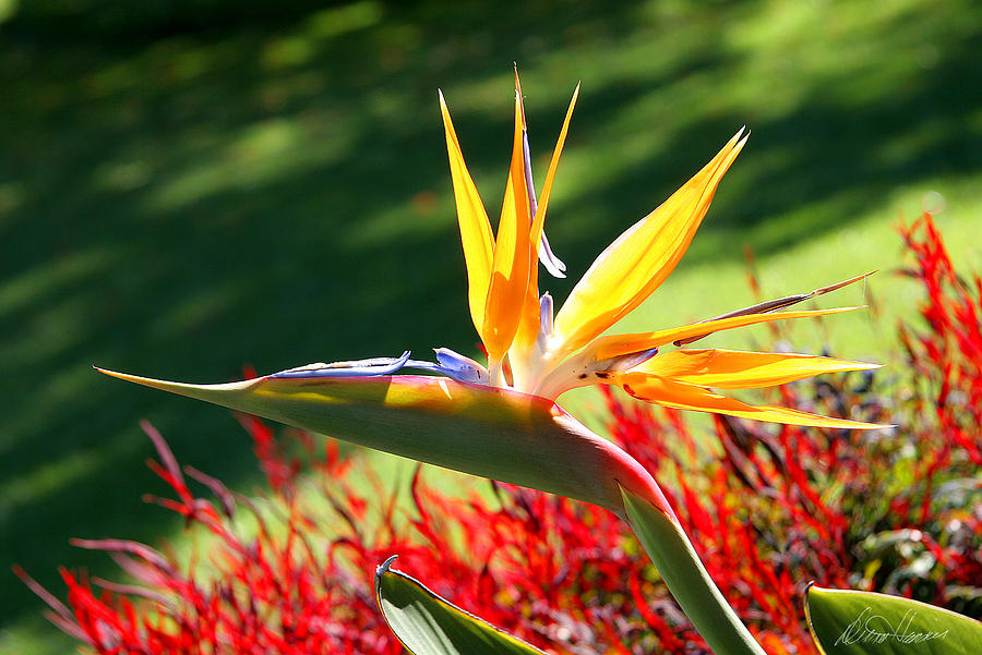 Flower Photograph - Bird Of Paradise by Diana Haronis