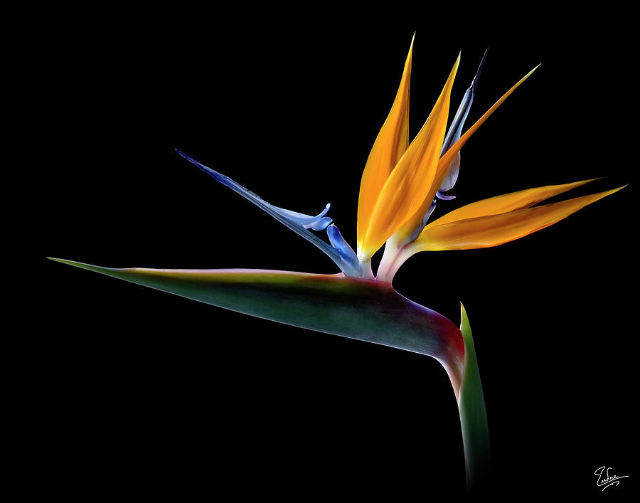 Flower Photograph - Bird Of Paradise by Endre Balogh