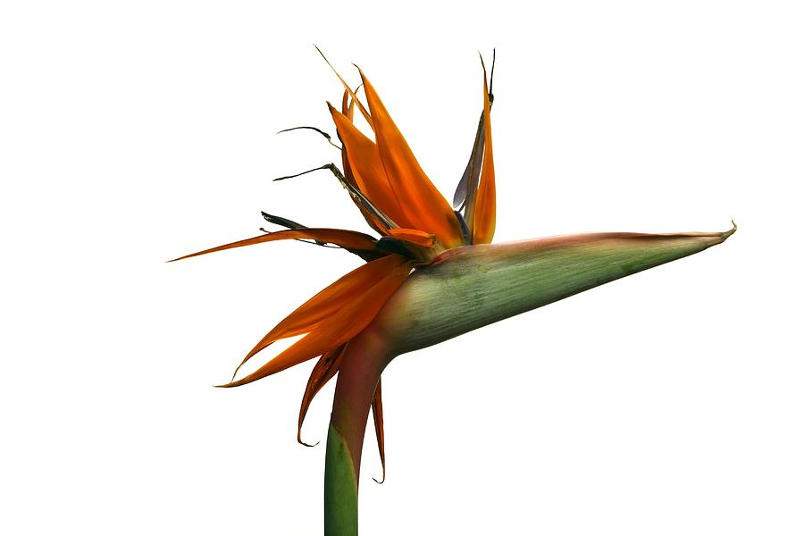 Bird Of Paradise Photograph - Bird Of Paradise Flower by Victor De Schwanberg