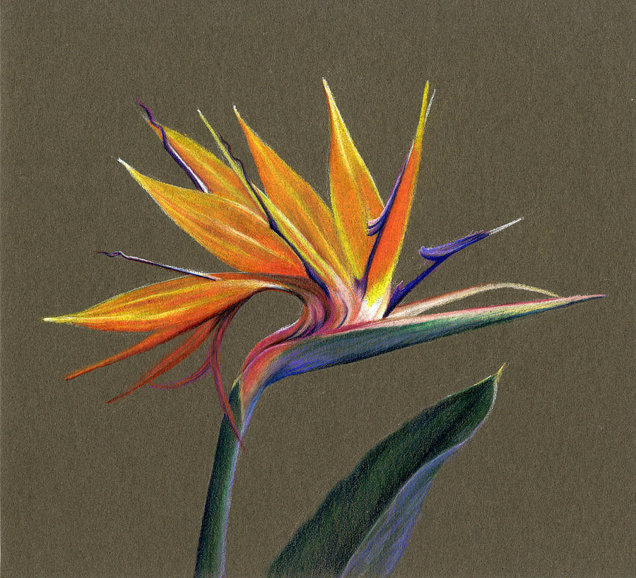 It's just a photo of Current Bird Of Paradise Drawing