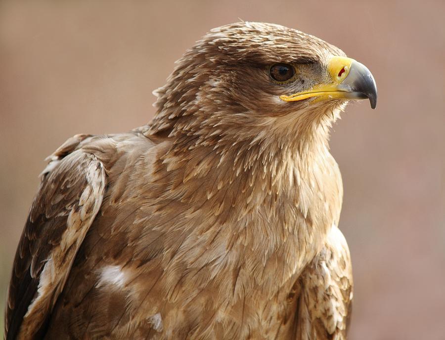 Birds Photograph - Bird Of Prey by Paulette Thomas