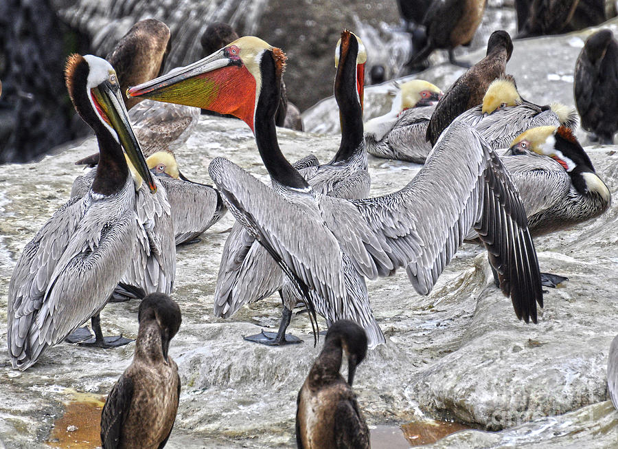 Pelicans Photograph - Bird Party  by Judy Grant