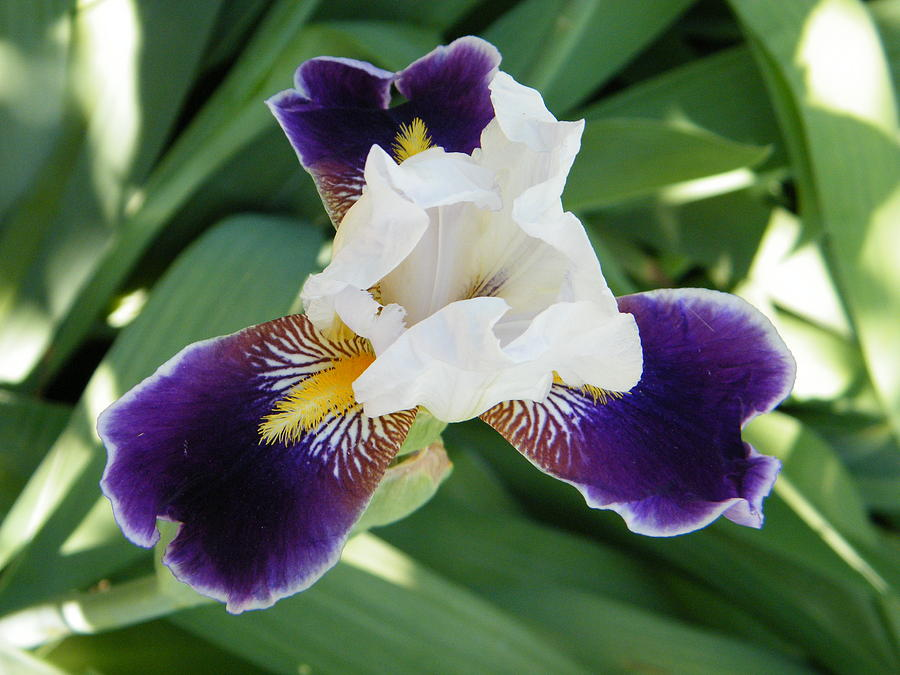 bird's eye view of a purple and white iris flower photograph by, Natural flower