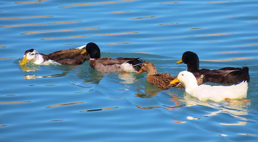 Ducks Photograph - Birds Not Of A Feather by Feva  Fotos