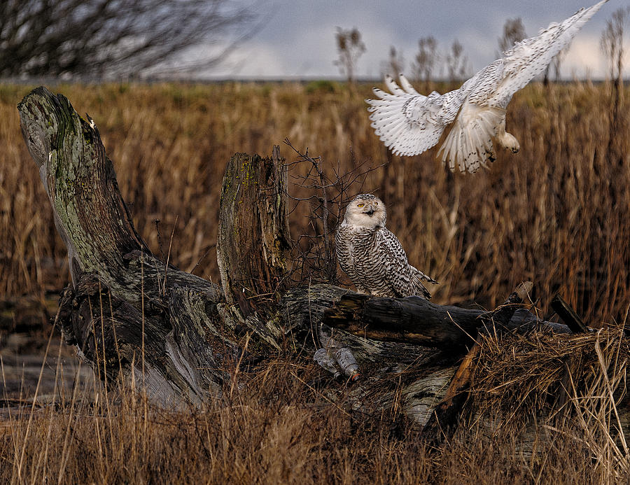 Canada Photograph - Birds Of Bc - No.14 - Snowy Owl Fly By by Paul W Sharpe Aka Wizard of Wonders