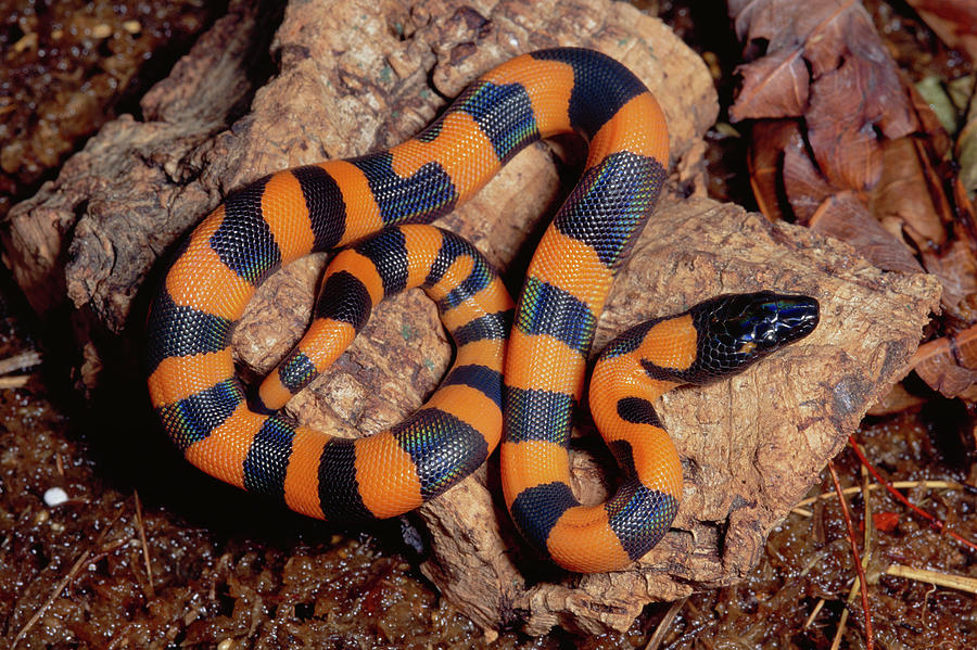 Bismarck Ringed Python Liasis Boa Photograph by Michael & Patricia Fogden