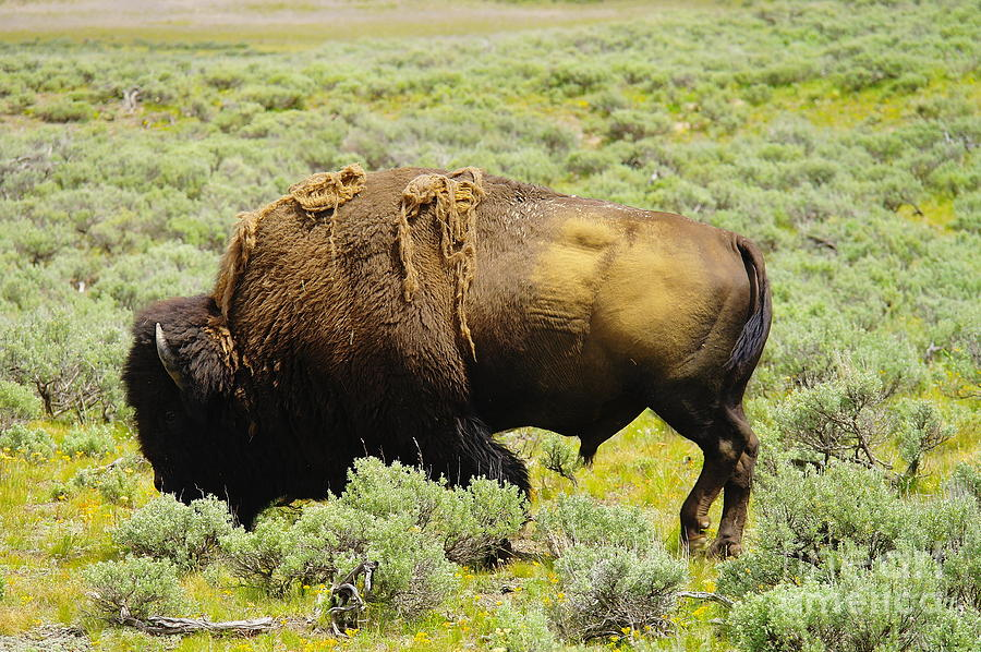 Bison Photograph - Bison by Jeff Swan