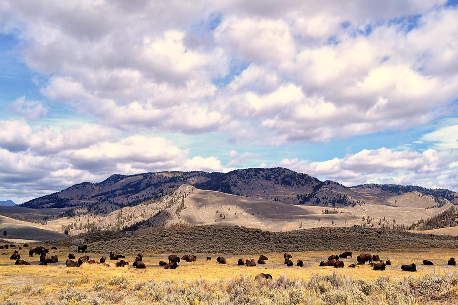 Buffalo Photograph - Bison  by Kelly Reber