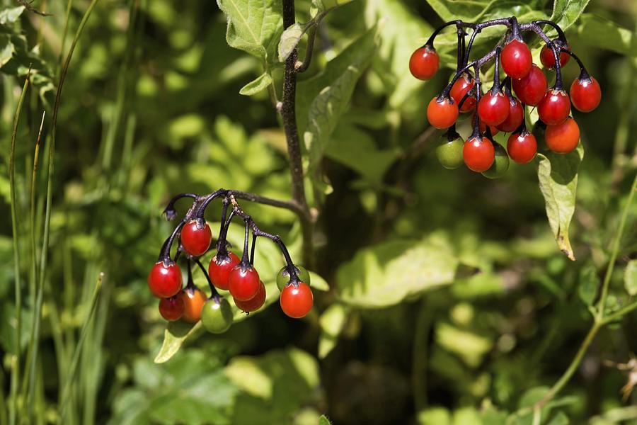Solanum Dulcamara Photograph - Bittersweet Berries (solanum Dulcamara) by Dr Keith Wheeler