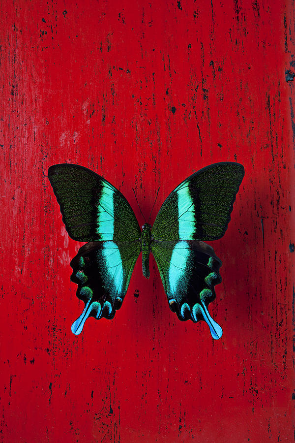 Walls Photograph - Black And Blue Butterfly  by Garry Gay